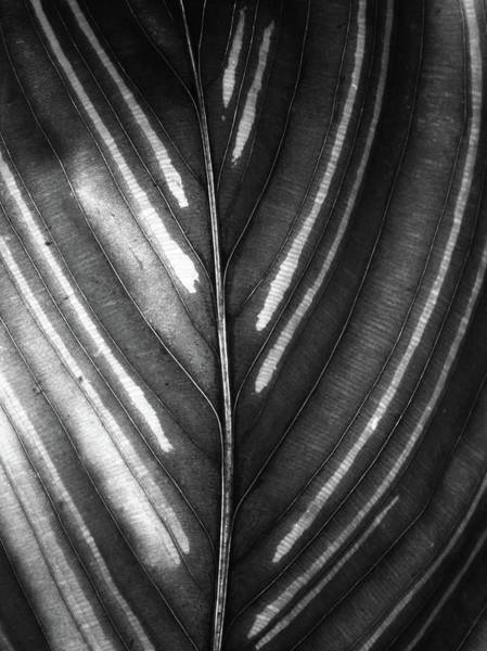 Photograph - Calathea Broad Leaf by Christopher Johnson