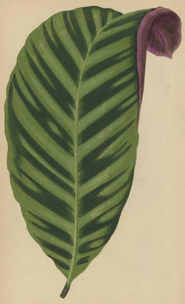 Leafy Painting - Calathea Zebrina, Maranta Zebrina by English School