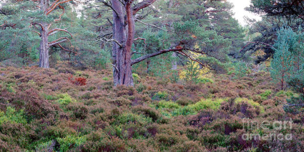 Photograph - Caledonian Forest by Warren Photographic