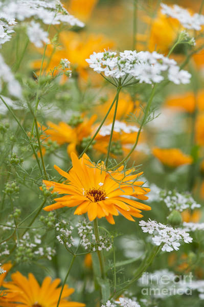 Herbs Photograph - Calendula And Coriander by Tim Gainey