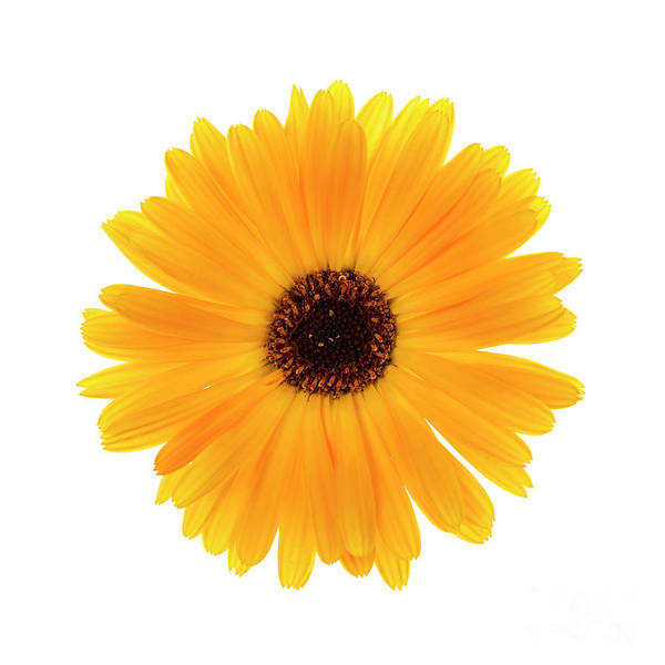 Wall Art - Photograph - Calendula Flower by Elena Elisseeva