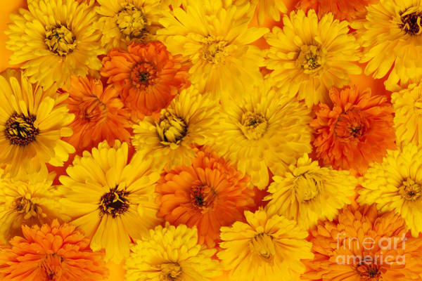 Wall Art - Photograph - Calendula Flowers by Elena Elisseeva