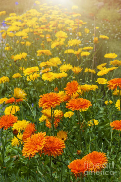 Wall Art - Photograph - Calendula Flowers In Garden by Elena Elisseeva