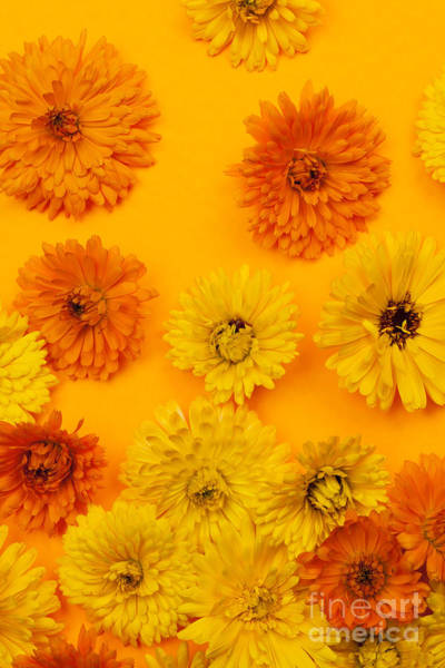 Wall Art - Photograph - Calendula Flowers On Orange Background by Elena Elisseeva