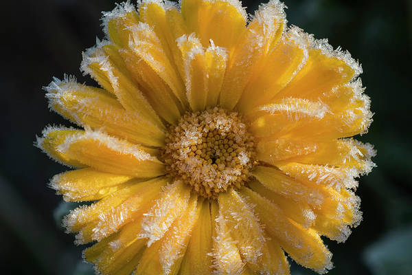 Photograph - Calendula With Frosting by Robert Potts