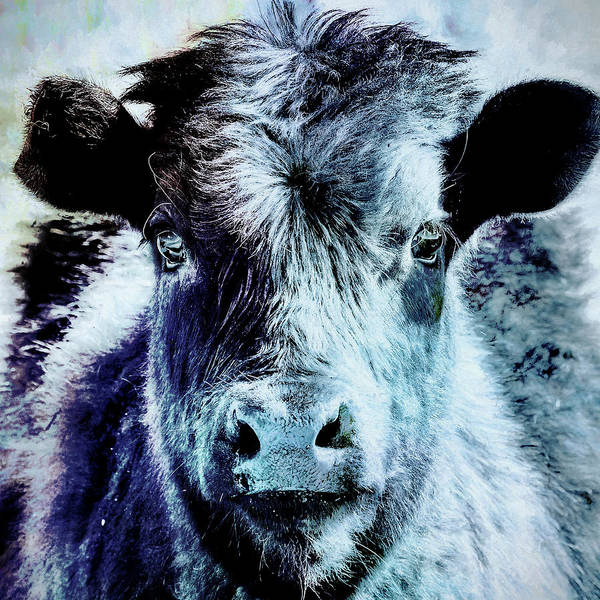 Photograph - Calf Is Blue by Belinda Greb