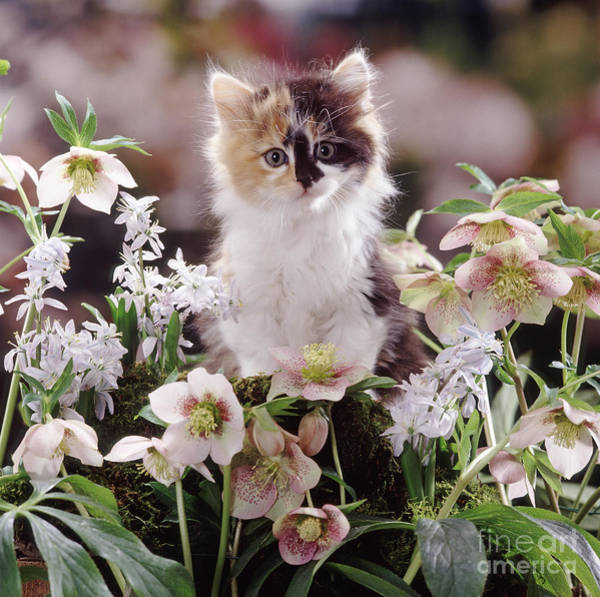 Calico Kitten Wall Art - Photograph - Calico And Scillas by Warren Photographic