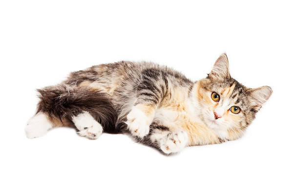 Calico Kitten Wall Art - Photograph - Calico Kitty Laying Over White by Susan Schmitz