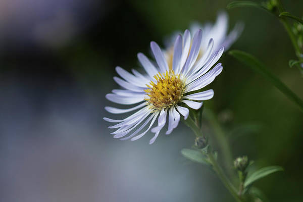 Photograph - California Aster by Robert Potts