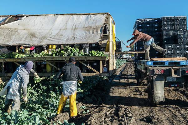 Amnesty Photograph - California Broccoli Harvest  by David A Litman