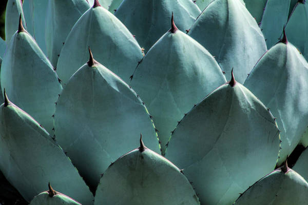 Photograph - California Cabbage Cactus Agave by Randall Nyhof