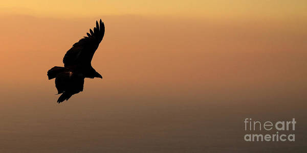 Wall Art - Photograph - California Condor Flying Out Of The Darkness by Max Allen