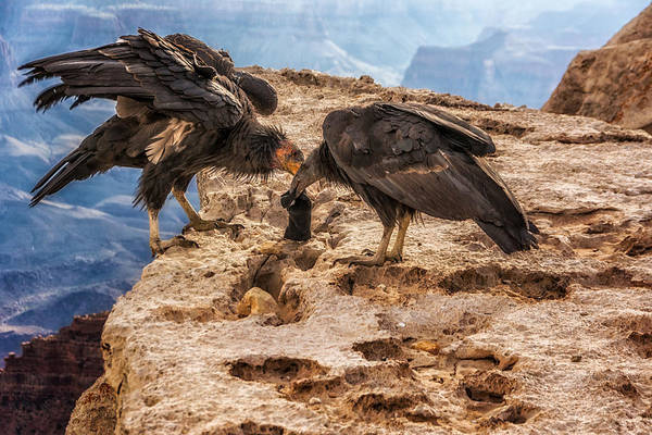 Photograph - California Condors Inspecting A Sock by Claudia Abbott