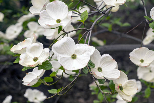 California Dogwood Art Print