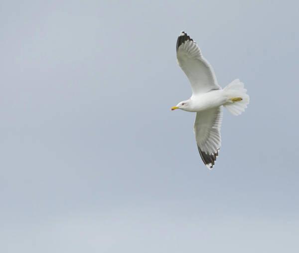 Photograph - California Gull 7201-021318-1cr by Tam Ryan