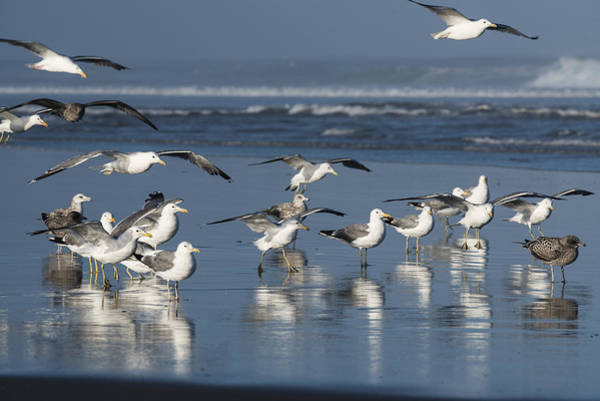 Photograph - California Gulls by Robert Potts
