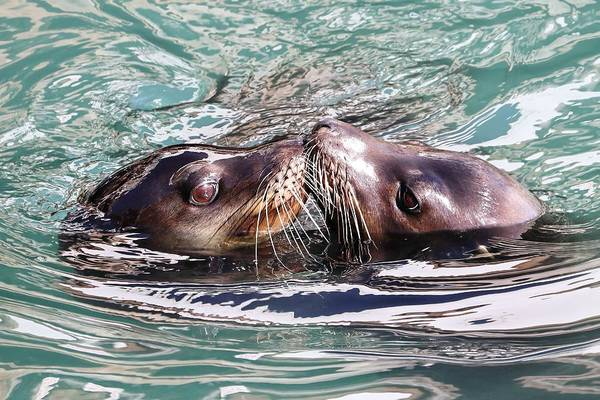 Photograph - California Kiss - Sea Lions by KJ Swan
