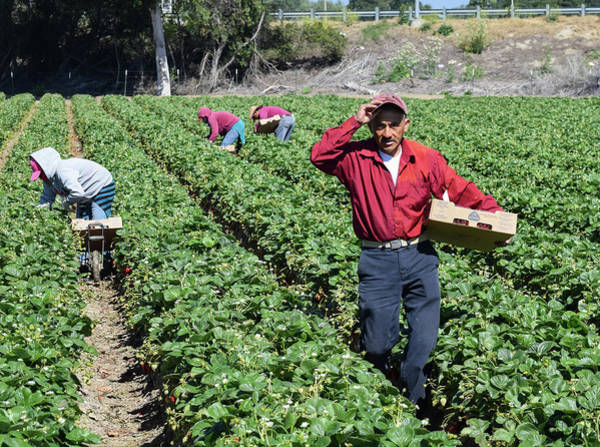 Amnesty Photograph - California Migrant Farm Workers by David A Litman