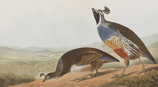 Territory Painting - California Partridge by John James Audubon
