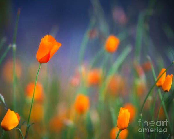 California Poppies 2 Art Print