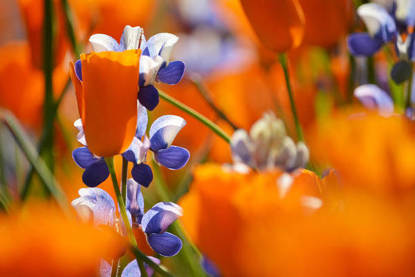 Figueroa Mountain Photograph - California Poppies And Lupine Landscape by Kyle Hanson