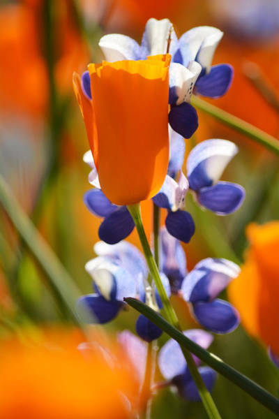 Figueroa Mountain Photograph - California Poppies And Lupine Portrait by Kyle Hanson