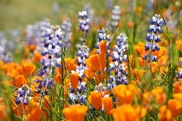 Figueroa Mountain Photograph - California Poppies And Lupine Wildflowers by Kyle Hanson