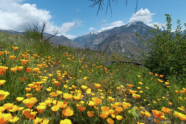 Photograph - California Poppies And Mountain by Cascade Colors