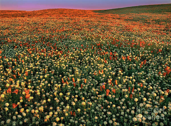 Photograph - California Poppies At Dawn Lancaster California by Dave Welling