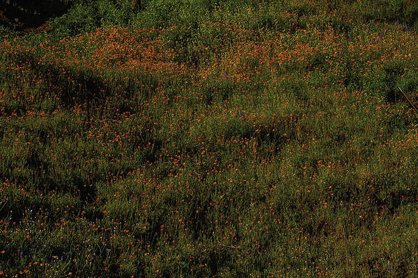 Wall Art - Photograph - California Poppies by Garry Gay