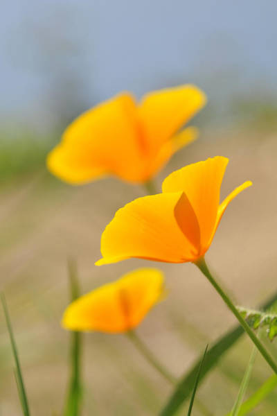 Photograph - California Poppies by Lara Ellis
