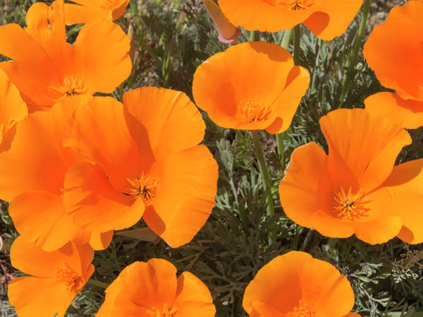 Photograph - California Poppies by Loree Johnson