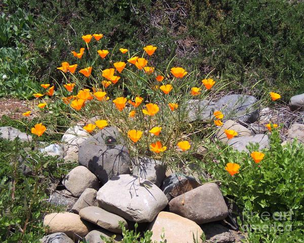 Photograph - California Poppies Photograph by Kristen Fox