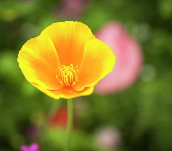 Wall Art - Photograph - California Poppy 2017-1 by Thomas Young