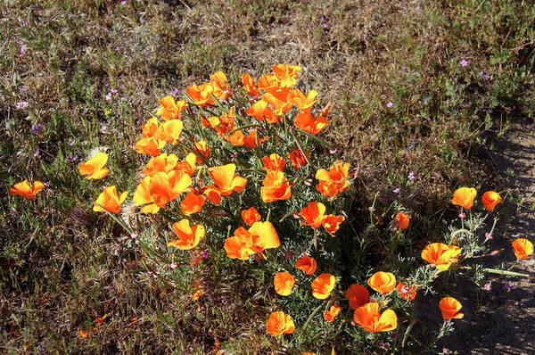 Photograph - California Poppy by Gene Parks