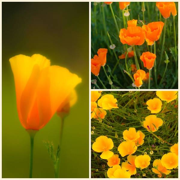 Photograph - California Poppy Triptych by Sherri Meyer