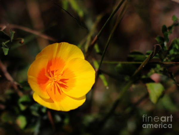 Photograph - California Poppy by Wingsdomain Art and Photography
