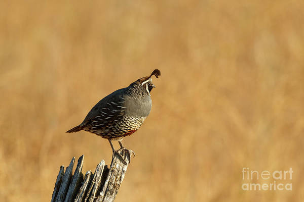 Photograph - California Quail by Beve Brown-Clark Photography