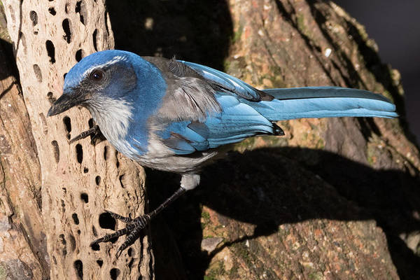 Scrub Jay Photograph - California Scrub Jay by Kathleen Bishop