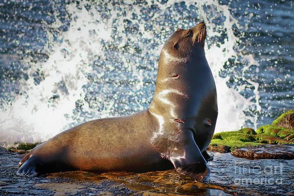 Photograph - California Sea Lion At La Jolla Cove by Sam Antonio Photography