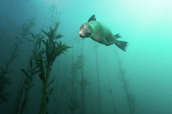 Wall Art - Photograph - California Sea Lion In Kelp by Steven Trainoff Ph.D.