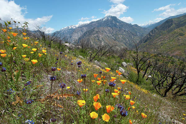 Photograph - California Spring Poppies With Mountain by Cascade Colors