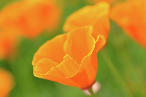 Photograph - California Spring Poppy Macro Close Up by Brandon Bourdages