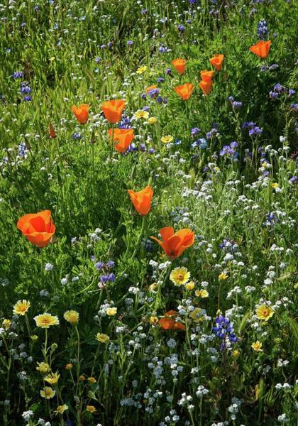 Photograph - California Wildflowers by Lynn Bauer