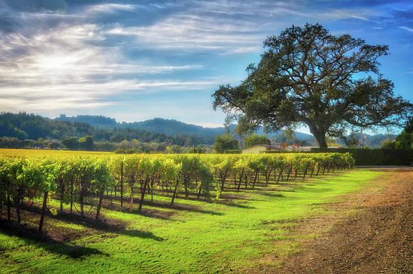 California Photograph - California Wine County - Sonoma Vineyard And Lone Oak Tree by Jennifer Rondinelli Reilly - Fine Art Photography
