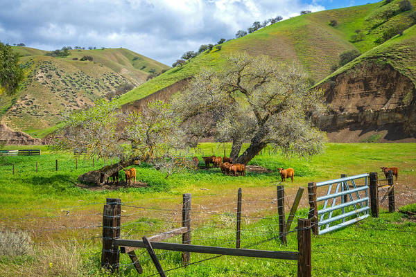 Photograph - California's Cow Country by Lynn Bauer