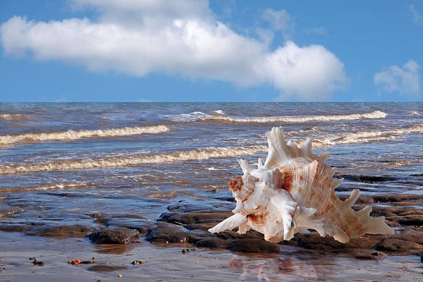 Photograph - Call Of The Ocean - Murex Seashell by Gill Billington