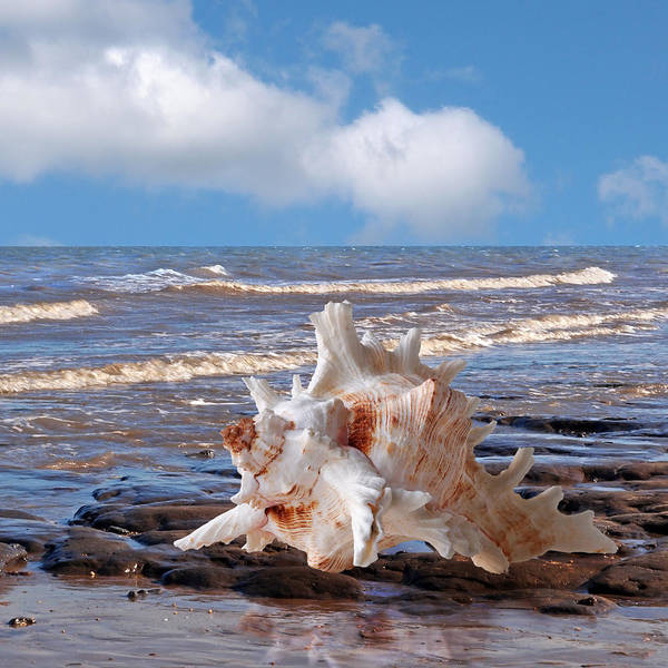 Photograph - Call Of The Ocean - Murex Seashell Square by Gill Billington