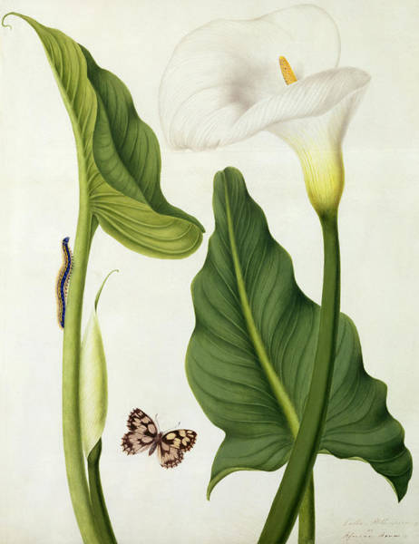 Butterfly Drawing - Calla Aethiopica With Butterfly And Caterpillar  by Matilda Conyers