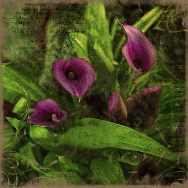 Photograph - Calla Lilies  by Bellesouth Studio